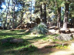Las w okolicach Adelajdy, gdzie rosną rydze