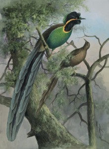 Bird Rothschild's Bird of Paradise by Ellis Rowan, public domain