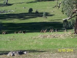 Stadko kangurów w okolicach Adelajdy