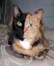 dwukolorowy kot
