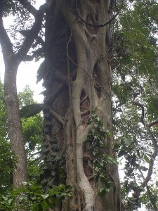 450px-Drzewo_dusiciel