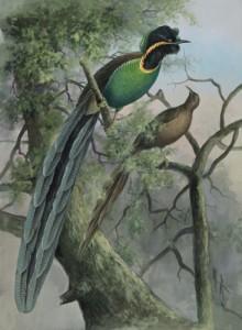 Bird Rothschild's Bird of Paradise by Ellis Rowan, public domain