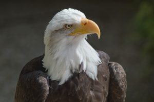 Bald_eagle_at_the_Hawk_Conservancy_Trust, by Lewis Hulbert, Creative Commons